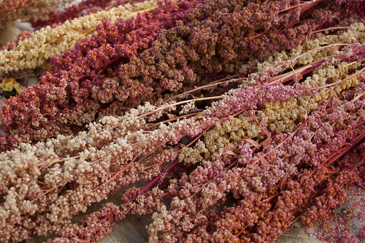 The farmer harvesting multicolored quinoa in his field in a village near Pisac, in the Peruvian Andes. The effect of all the mix of colors was terrific.